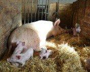 Die Schweine werden am Hof geboren und am Hof geschlachtet