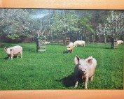 Schweine im Glück