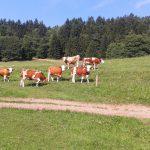Kühe Familie Deutschmann