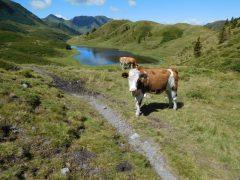 Kuh auf der Straninger Alm
