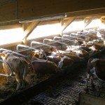 Ein großer Freilaufstall sorgt für artgerechte Tierhaltung.