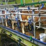 Im Melkstand werden die Kühe gemolken.