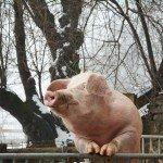 Glückliche Schweine mit Freigang