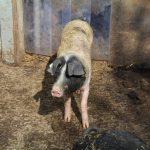 Bioschwein am Langnerhof