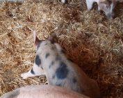Schweinehaltung am Bio-Langnerhof