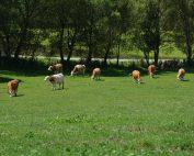 Glückliche Kühe am Bauernhof Tomale der Familie Goltschnigg