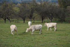 Milchkühe am bio-dynamischen Wurzerhof