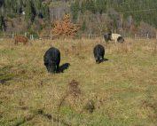Tiere werden am Bio-Vöstlhof zur Bodenpflege gehalten