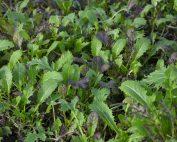 Am Vöstlhof wachsen selbst im tiefsten Winter Pflücksalate