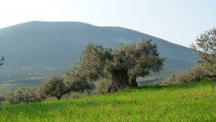 Oleum Olivenhain