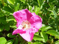 Rosen im Biogarten von Uta-Elisabeth Haimburger