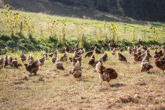 Am Biohof der Familie Obereder gackern glückliche Hühner