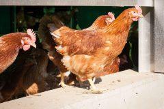Hühnerleben am Biohof Schnitzer der Familie Obereder