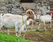 Fröhliche Ziegen am Biohof Grabmaier