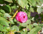 Rosenblüte im Dezember