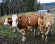 Am Hof der Familie Grießer leben 14 Kühe der Rasse Fleckvieh.