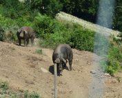Die Duroc und Mangalitza Schweine leben in ganzjähriger Freilandhaltung