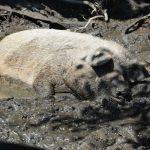Im Schlamm suhlendes Duroc-Schwein
