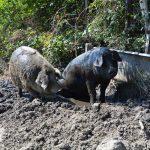 Schweinisch gute Sommerzeit am Weingut Karnburg