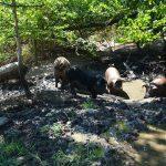Ein Schweine-Paradies wie es für die Tiere besser nicht sein kann