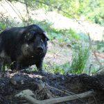 Schattige und geschützte Plätze für die Schweineschar