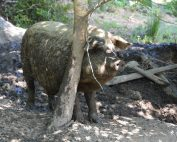 Schweinekratzbaum