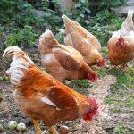 Hühnerleben im Alten Försterhaus