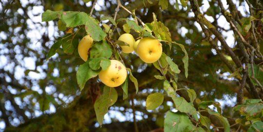 Obstbaum mit alten Apfelsorten