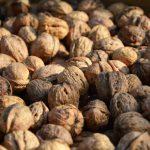 Nüsse von uralten Nussbäumen