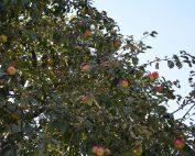 Alter Apfelbaum beim Alten Gärtnerhaus