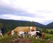 Der Sommer ist für die Tiere eine Erholungsphase, in der sie keine Kälber auf die Welt bringen