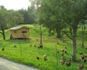 Viel Freilauf im Obstgarten für die Hühner der Familie Natmeßnig