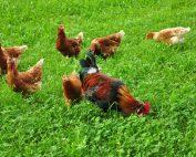 Ein stolzer Hahn inmitten seiner Hühnerschar