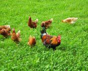 Glückliches Hühnerleben auf der grünen Wiese