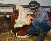 Die Milchkühe liegen im Stall auf Stroh