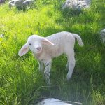 Neugieriges Lamm auf Erkundungstour