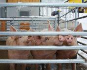 Immer hungrig und neugierig: die Schweine