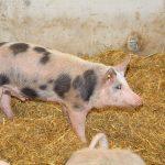 Viel Stroheinstreu für die Schweine