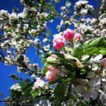 Baumblüte in ihrer vollen Pracht