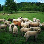 Ruhiges Leben für die Schafe am Schobehof