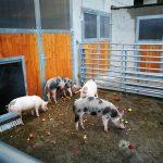 Äpfel: ein Leckerbissen für die Schweine