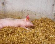 Ein Schweineleben wie es für jedes Schwein selbstverständlich sein sollte