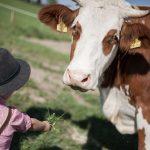Kühe am Biobauernhof der Familie Natmessnig