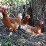 Eier vom Weidehuhn