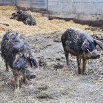 Mangalitza Schweine am Hof von Karin und Lorenz Graf