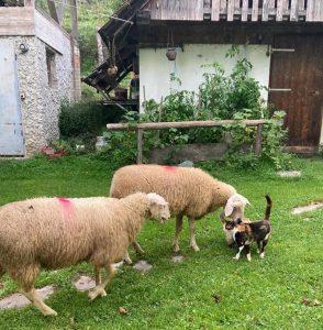 Schafe am Bio-Demeterhof von Corbelia Opriessnig